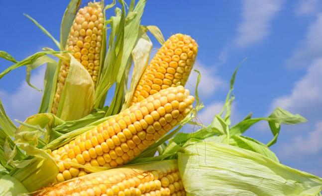 maize-647x395